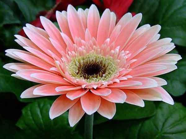 Hoa cúc đồng tiền – Hoa đẹp dễ trồng dễ chăm sóc mang lại may mắn