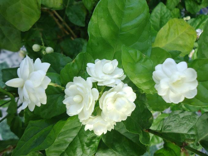 Cây hoa lài – Hướng dẫn cách trồng cây hoa lài hoa đẹp quyến rũ