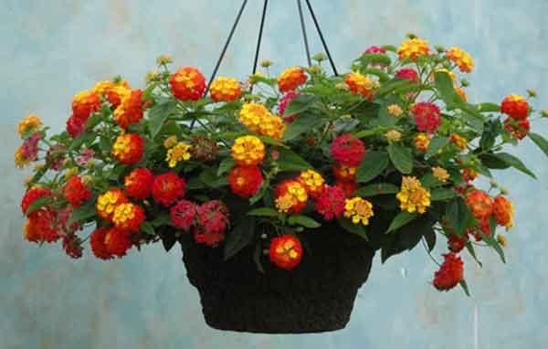 cây hoa ngũ sắc đẹp 1