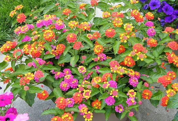 cây hoa ngũ sắc đẹp 4