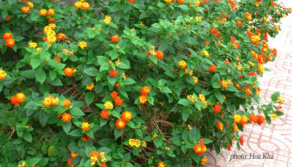 cây hoa ngũ sắc đẹp 3