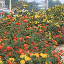 cây hoa ngũ sắc đẹp 2