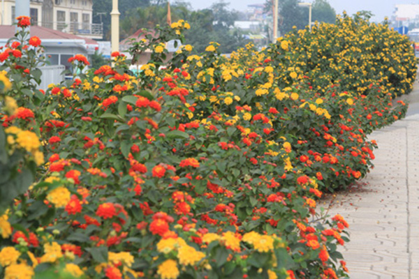 Cây hoa ngũ sắc – Cây trồng cảnh quan công trình tuyệt đẹp