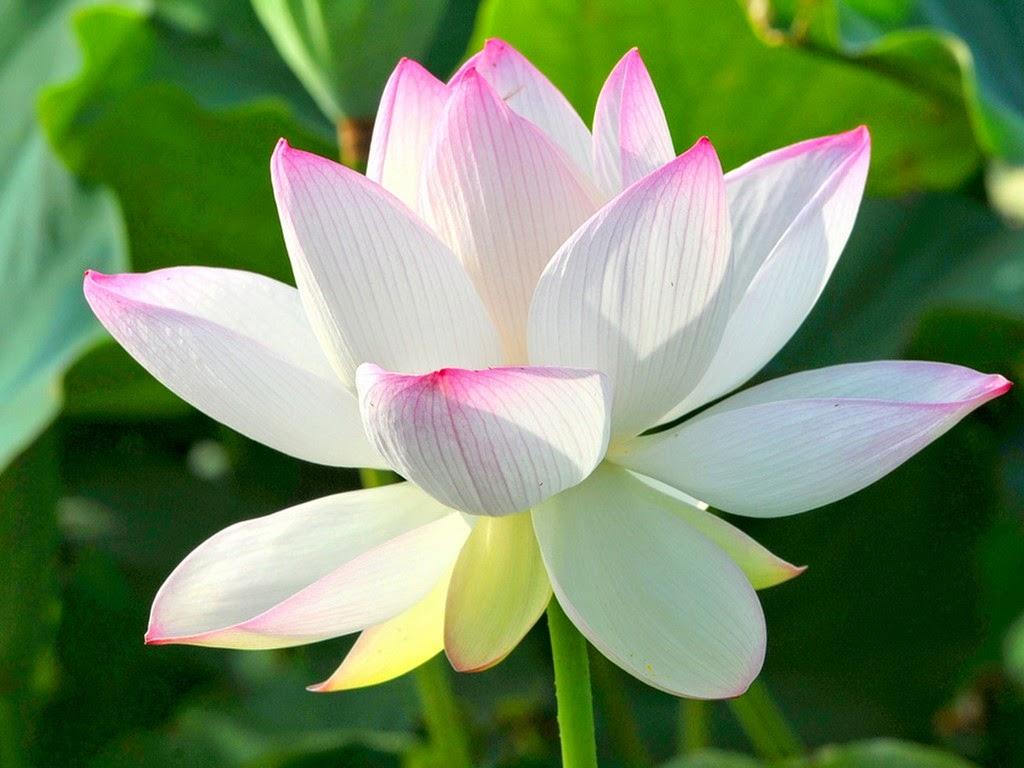 Hoa sen – Ý nghĩa, các loại hoa sen, cách trồng chăm sóc hoa sen đẹp