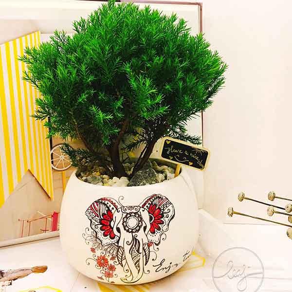 Cây tùng bồng lai – Cây cảnh bonsai có nhiều giá trị với người chơi cây cảnh