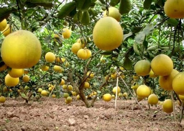 Bưởi Tứ Xuyên – Cách trồng và chăm sóc bưởi Tứ Xuyên