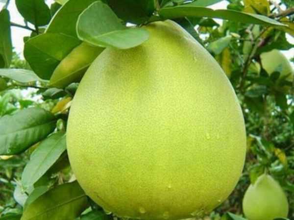 Bưởi năm roi – Cách trồng và chăm sóc bưởi năm roi