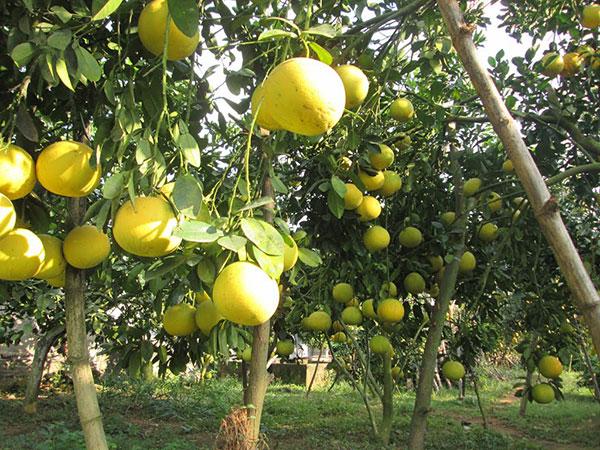 Cây bưởi đường – Cách trồng và chăm sóc cây bưởi đường