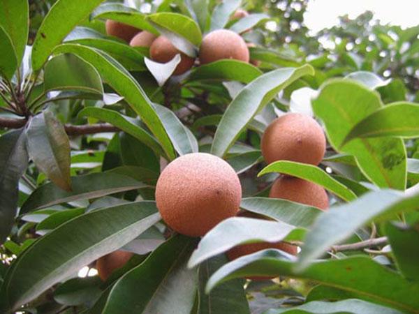 Cây hồng xiêm – Cách trồng và chăm sóc cây hồng xiêm