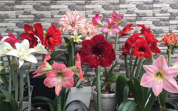 Hoa lan huệ – Cách trồng và chăm sóc hoa lan huệ