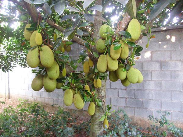 Cây mít – Cách trồng và chăm sóc cây mít