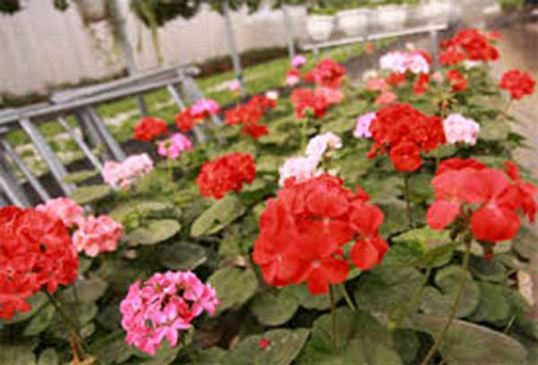 Cây phong lữ thảo – Cách trồng và chăm sóc cây phong lữ thảo