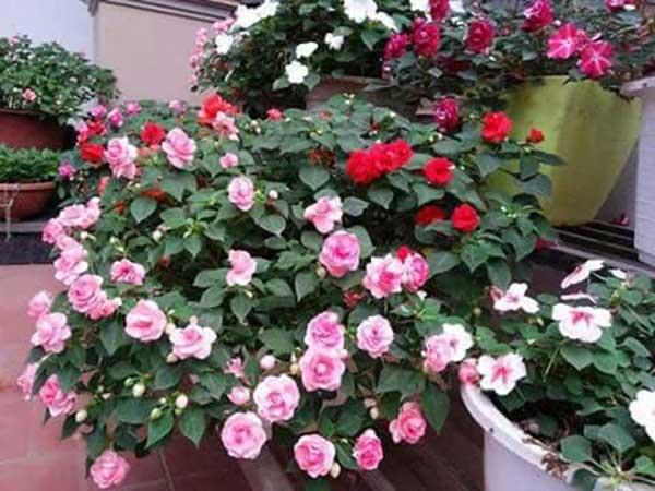 Hoa ngọc thảo – Cách trồng và chăm sóc hoa ngọc thảo