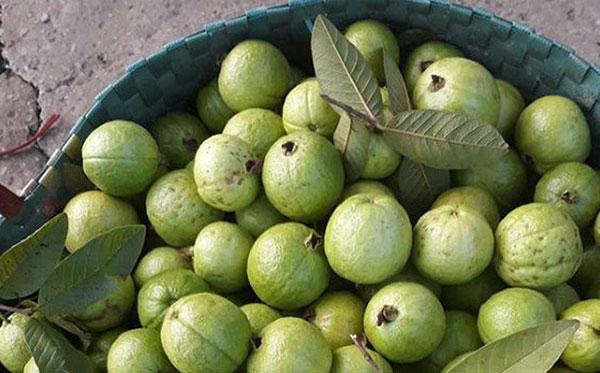 Cây ổi Đông Dư – Cách trồng và chăm sóc cây ổi Đông Dư