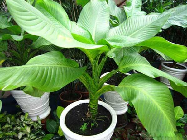 Cây đại phú gia – Cách trồng và chăm sóc cây đại phú gia