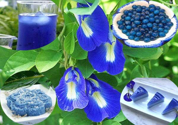 Hoa đậu biếc – Cách trồng và chăm sóc hoa đậu biếc
