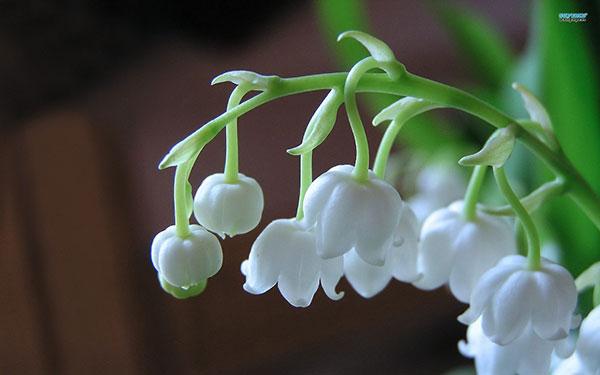 Hoa lan chuông – Cách trồng và chăm sóc hoa lan chuông