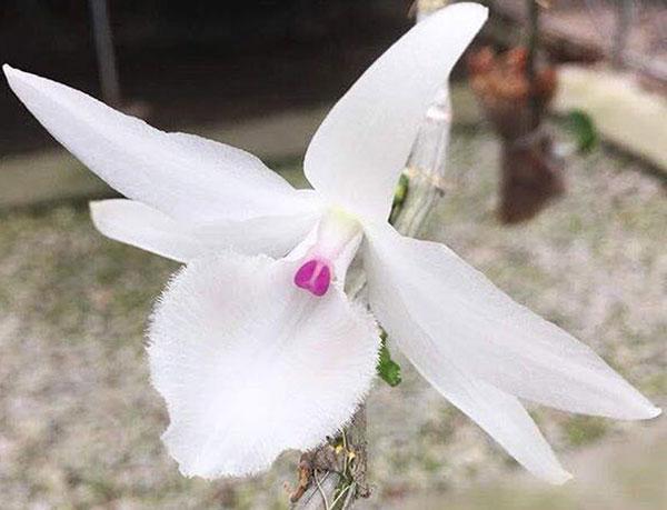 Hoa lan đột biến – Cách trồng và chăm sóc hoa lan đột biến