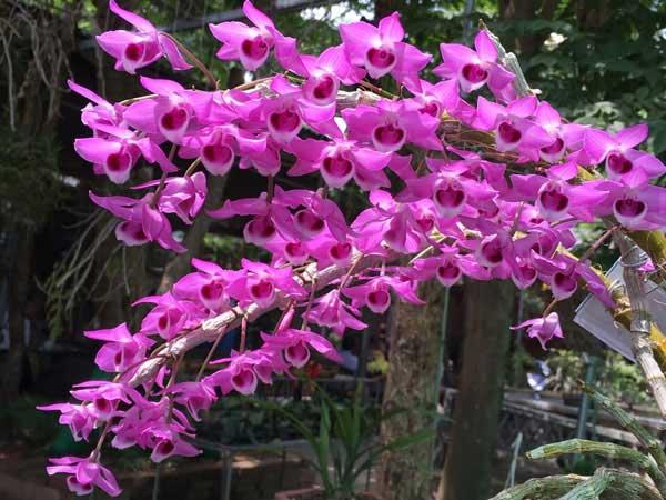 Hoa lan trầm – Cách trồng và chăm sóc hoa lan trầm