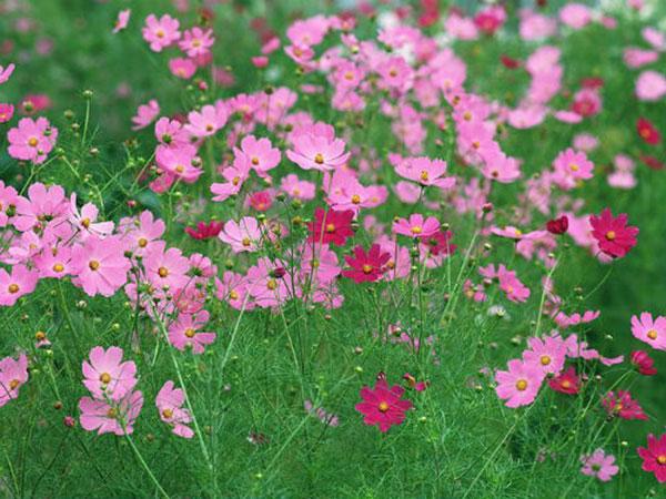 Hoa sao nhái – Hướng dẫn trồng và chăm sóc hoa sao nhái