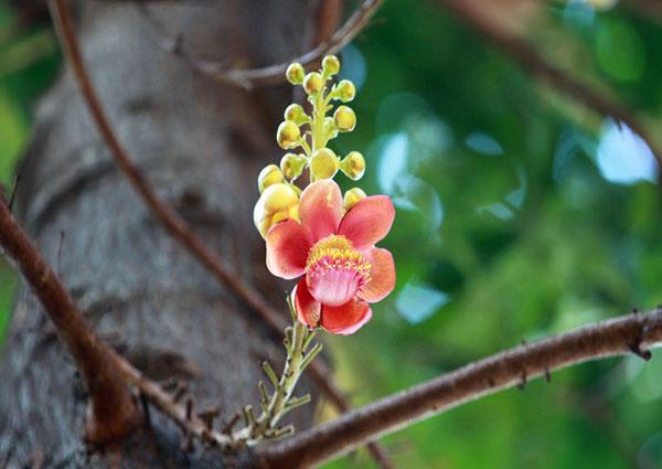 Hoa vô ưu – Hướng dẫn cách trồng và chăm sóc hoa vô ưu
