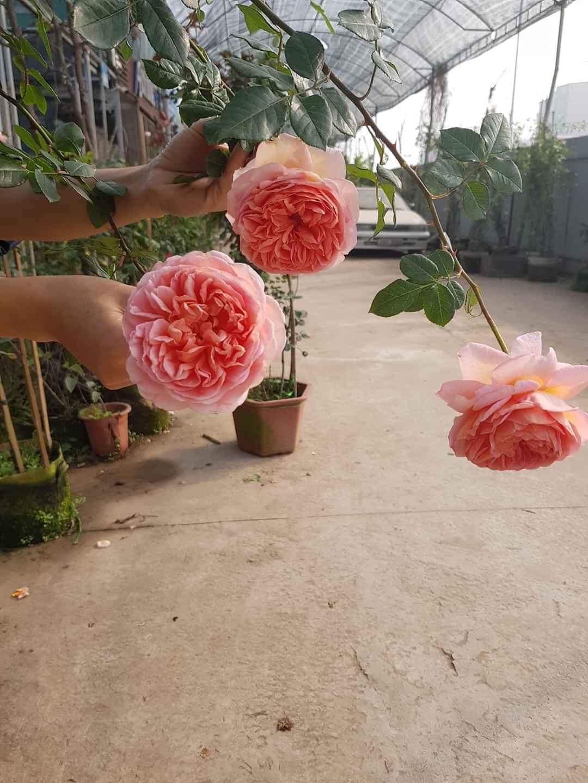 Hoa hồng leo Abraham Darby rose 5DCC47AC 428B 4A8D 82DC E2F3817A4537