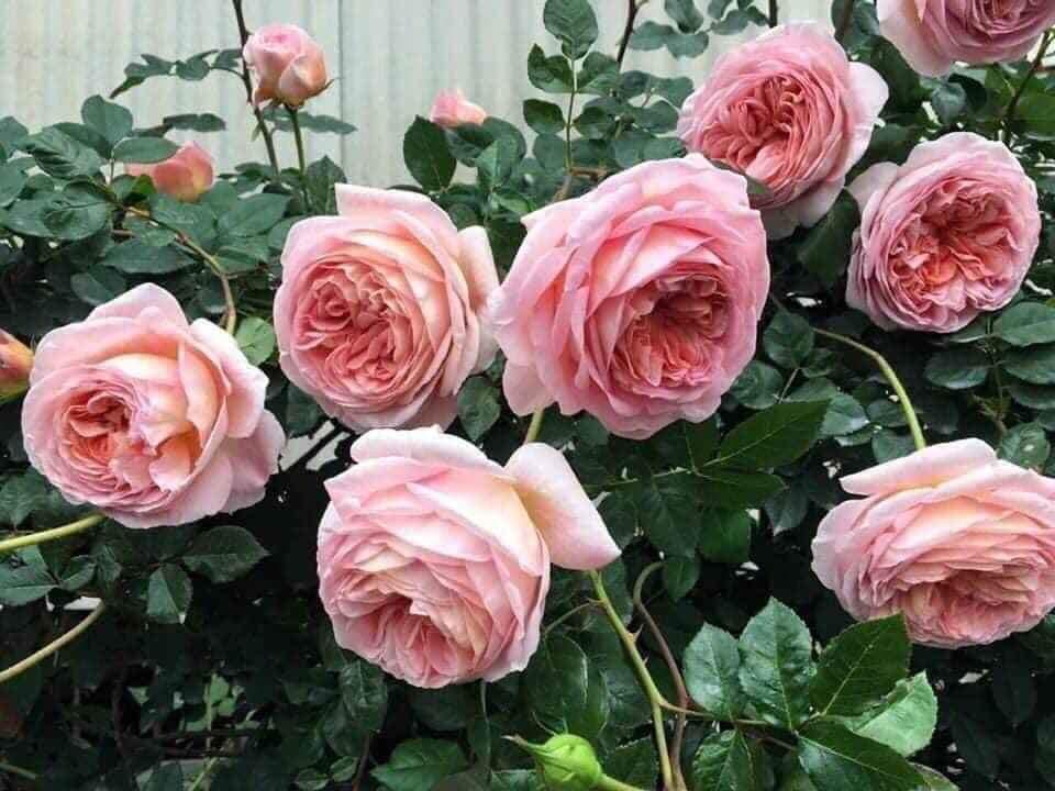 Hoa hồng leo Abraham Darby rose 95B870C6 D94F 4253 8C6C B1A0900DEE49