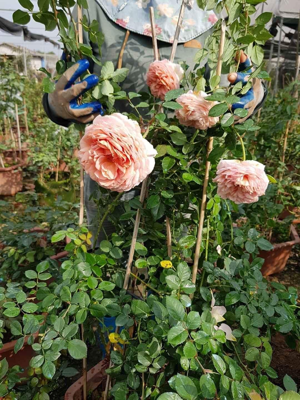 Hoa hồng leo Abraham Darby rose C300843C 8AFE 41DD 871F CE9D219DA059