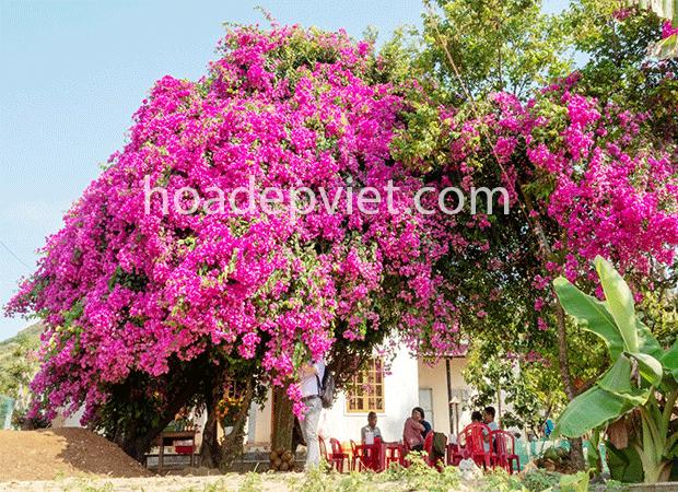 Hoa giấy – cây hoa leo giàn chống nắng cực đẹp cho hoa quanh năm