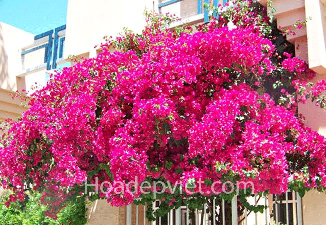 Hoa giấy Thái – Hoa giấy đẹp, khả năng thích nghi tốt