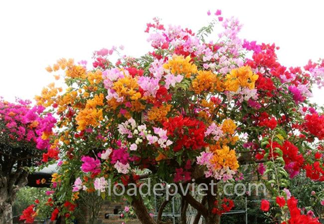 Hoa giấy ngũ sắc Thái Lan – Hoa leo độc đáo, màu sắc sặc sỡ