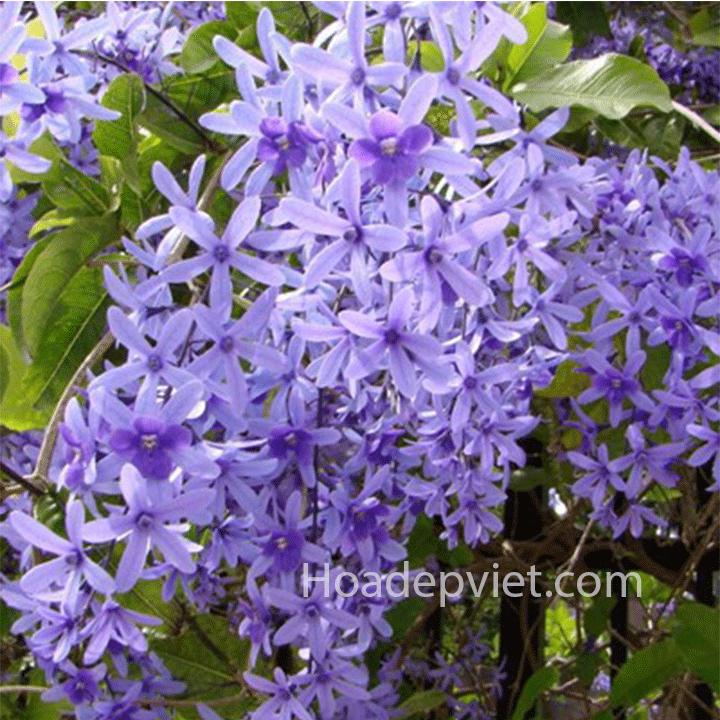 Hoa mai xanh có hoa độc đáo, chống nắng tốt