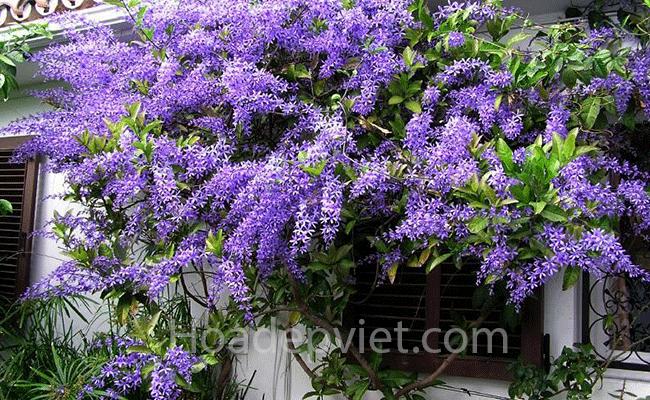 Cây hoa mai xanh Thái Lan – cây hoa leo chống nắng cực đẹp và độc đáo