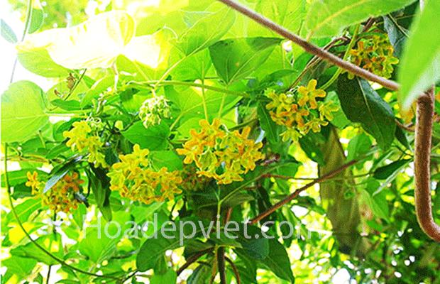 Hoa thiên lý – hoa leo giàn đẹp, hương thơm ngát