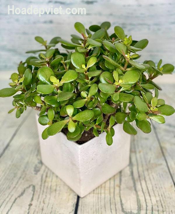 Cây ngọc bích – loài cây có ý nghĩa phong thủy tốt